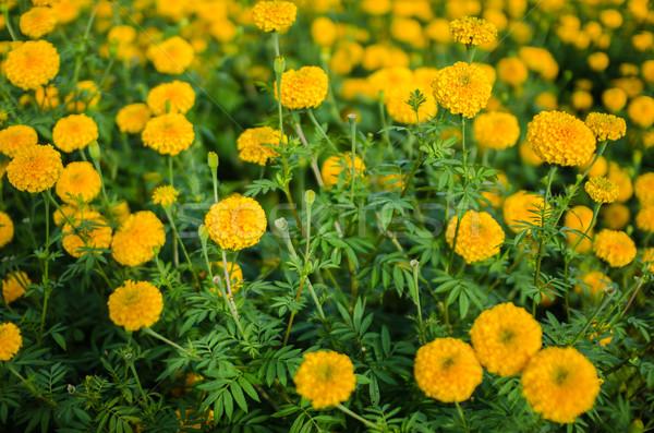 Flor natureza jardim cabeça planta Ásia Foto stock © sweetcrisis