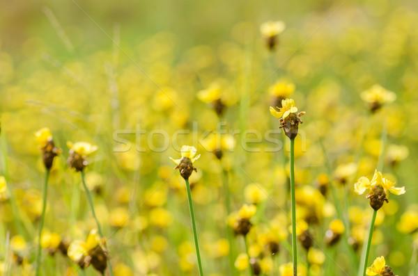 Sárga virágok vadvirág Thaiföld fű természet kert Stock fotó © sweetcrisis