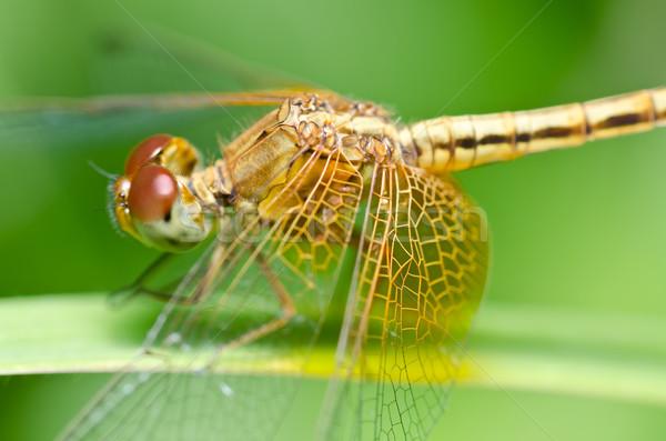 Szitakötő kert zöld természet gyönyörű rovar Stock fotó © sweetcrisis