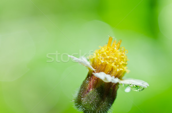 yellow flower weed in green nature Stock photo © sweetcrisis
