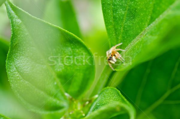 Foto stock: Saltando · aranha · verde · natureza · jardim · primavera