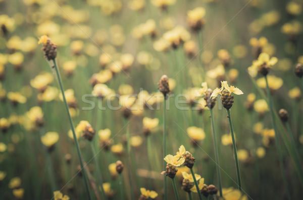 Flores amarelas vintage Tailândia grama natureza Foto stock © sweetcrisis