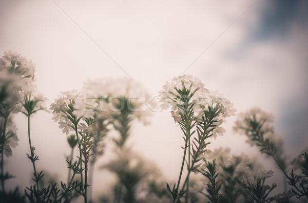 Foto stock: Flor · blanca · vintage · jardín · naturaleza · parque · Tailandia