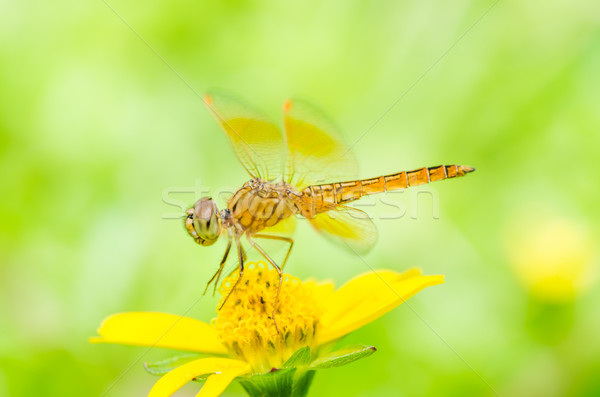 dragonfly in green nature Stock photo © sweetcrisis