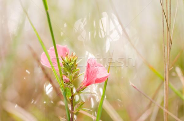 Flor-de-rosa jardim natureza parque Tailândia folha Foto stock © sweetcrisis
