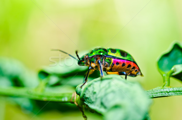 jewel beetle on leaf in green nature Stock photo © sweetcrisis