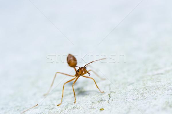 красный муравей зеленый природы саду Сток-фото © sweetcrisis