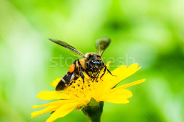 Albină macro verde natură grădină floare Imagine de stoc © sweetcrisis