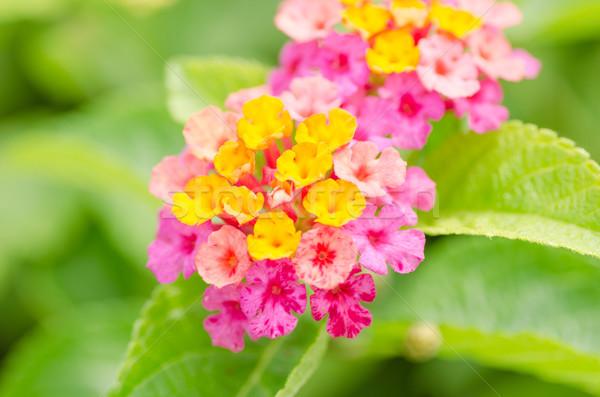 Sálvia pano ouro jardim de flores flor Foto stock © sweetcrisis