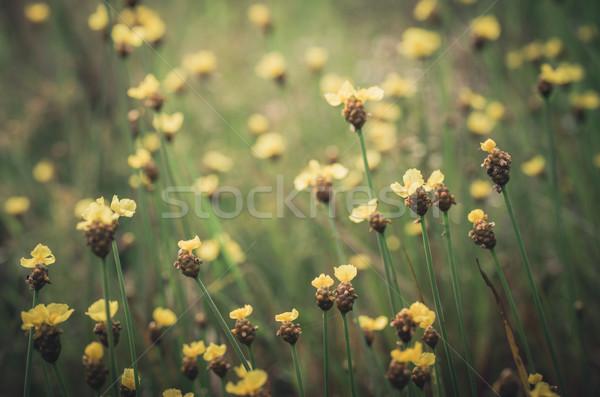 żółte kwiaty vintage dziki kwiat Tajlandia trawy charakter Zdjęcia stock © sweetcrisis