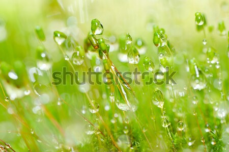 Fresh moss macro in green nature Stock photo © sweetcrisis