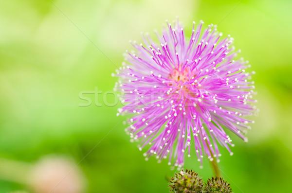 чувствительный завода цветы зеленый природы саду Сток-фото © sweetcrisis