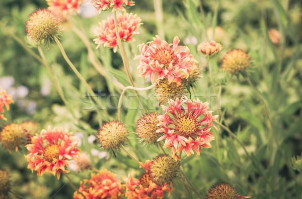 Rot gelbe Blume Garten Jahrgang Natur Park Stock foto © sweetcrisis