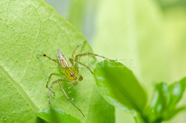 Hosszú lábak pók zöld természet erdő kert Stock fotó © sweetcrisis