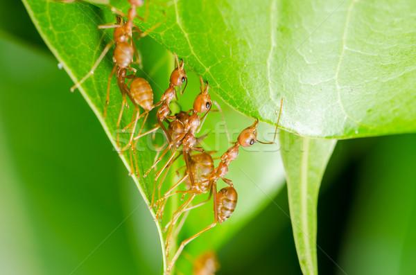 Piros hangyák épít otthon csapatmunka erő Stock fotó © sweetcrisis