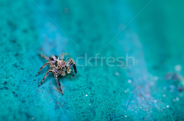jumping spider in garden Stock photo © sweetcrisis