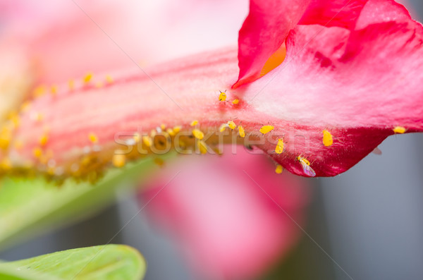 Aphids on the flower Stock photo © sweetcrisis