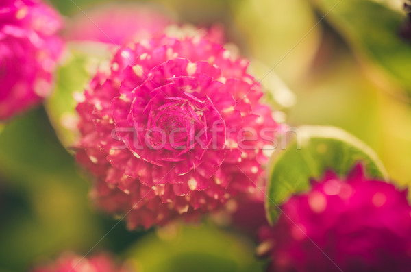 Globe Amaranth or Bachelor Button flower vintage color Stock photo © sweetcrisis