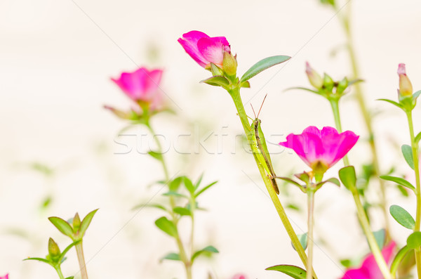 Stock photo: Common Purslane or Verdolaga or Pigweed or Little Hogweed or Pus