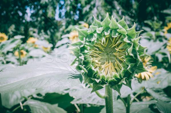 ヒマワリ ヴィンテージ 庭園 自然 公園 春 ストックフォト © sweetcrisis