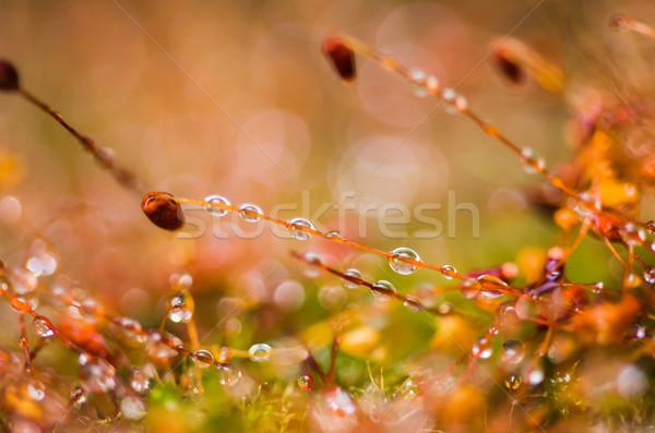 çim yosun su damlası doğa su bahçe Stok fotoğraf © sweetcrisis