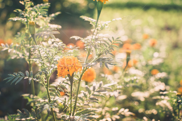 Stock photo: Marigolds or Tagetes erecta flower