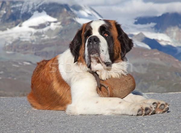 St. Bernard Dog Stock photo © swisshippo