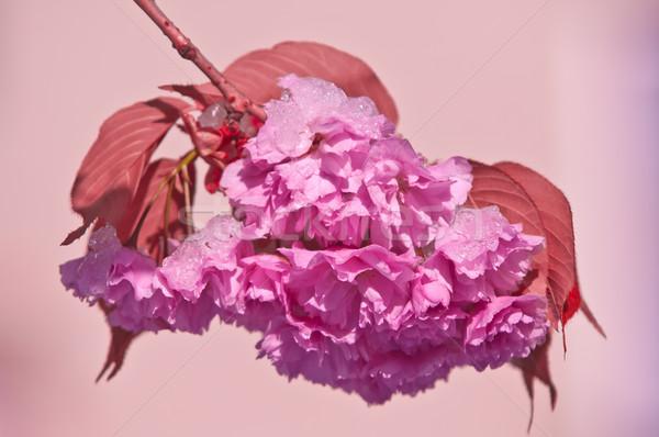 Cherry blossom and snow, Prunus serrulata, sakura Stock photo © szabiphotography