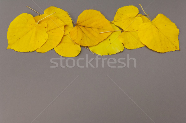 Autumn yellow fallen leaves in row on grey background Stock photo © szabiphotography