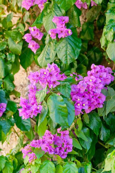 Mediterranean Bougainvillea bush with purple flowers Stock photo © szabiphotography