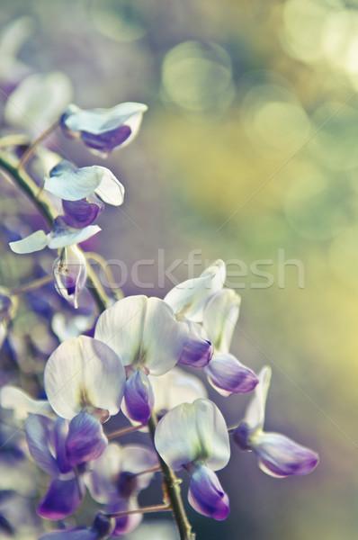 Ağaç çiçekler siyah mor pembe bo Stok fotoğraf © szabiphotography