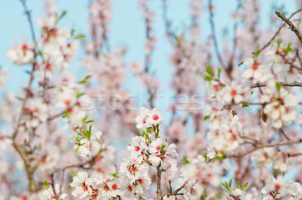 アーモンド 桜 ツリー フル 咲く ストックフォト © szabiphotography