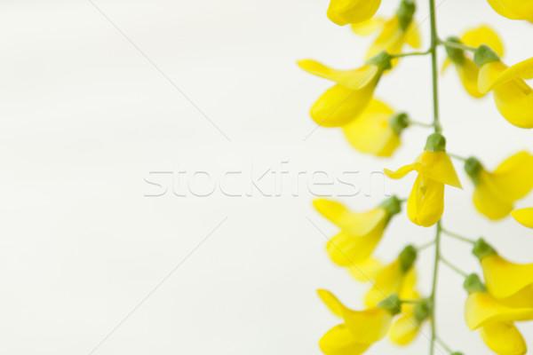 Robinia pseudoacacia tree flowers, know as black locust, yellow, Stock photo © szabiphotography