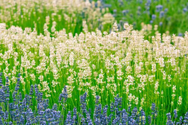 Lavender flower Natural look of Lavender flowers Lavandula Stock photo © szabiphotography
