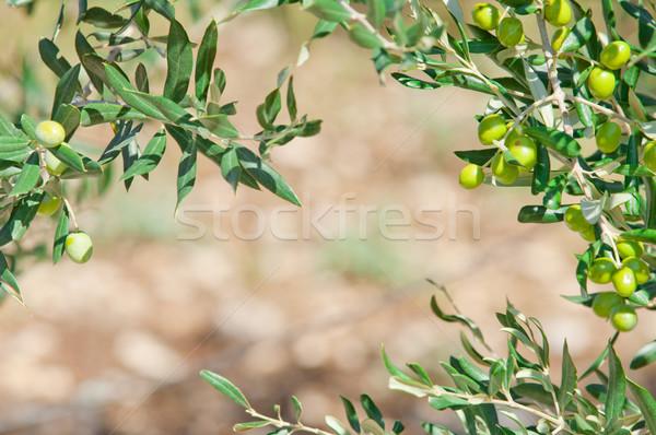 Morze Śródziemne oliwy drzew kopia przestrzeń świetle Zdjęcia stock © szabiphotography