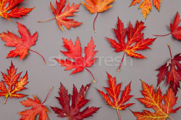 Sonbahar kırmızı akçaağaç yaprakları model gri Stok fotoğraf © szabiphotography
