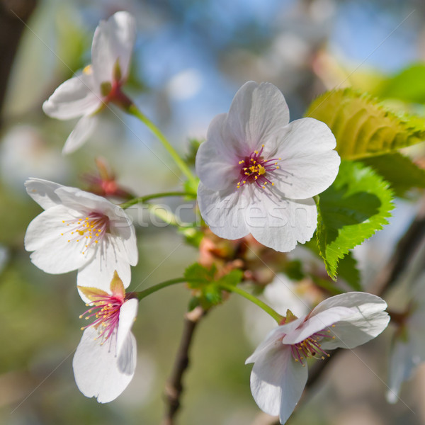 Cherry blossom, Prunus serrulata, full bloom Stock photo © szabiphotography