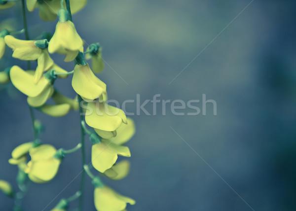 Ağaç çiçekler siyah sarı bo çiçek Stok fotoğraf © szabiphotography