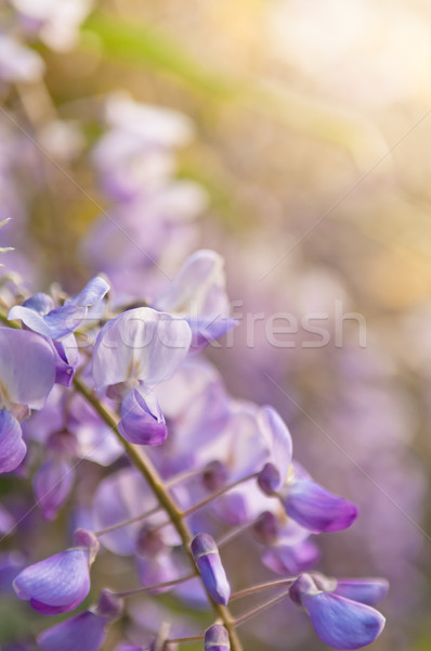 Robinia pseudoacacia tree flowers, know as black locust, purple, Stock photo © szabiphotography