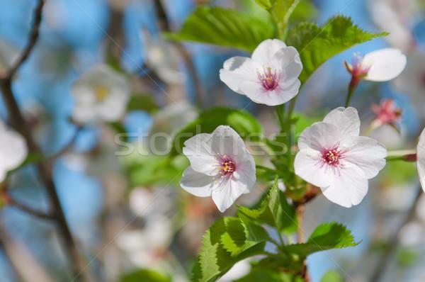 Kiraz çiçeği tok çiçeklenme kiraz ağaç doğa Stok fotoğraf © szabiphotography
