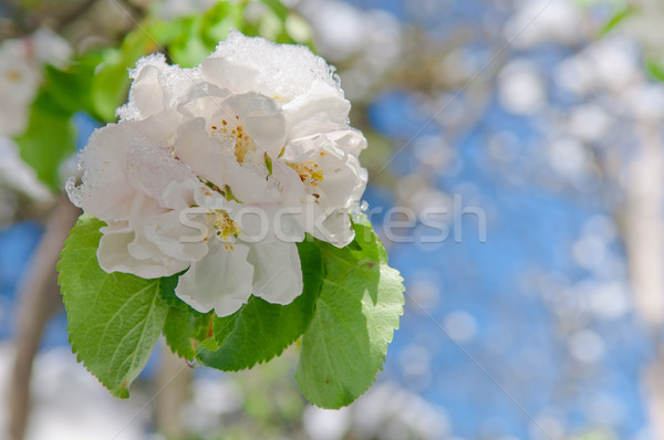 Apple blossom, blooming on apple tree after spring snowfall Stock photo © szabiphotography