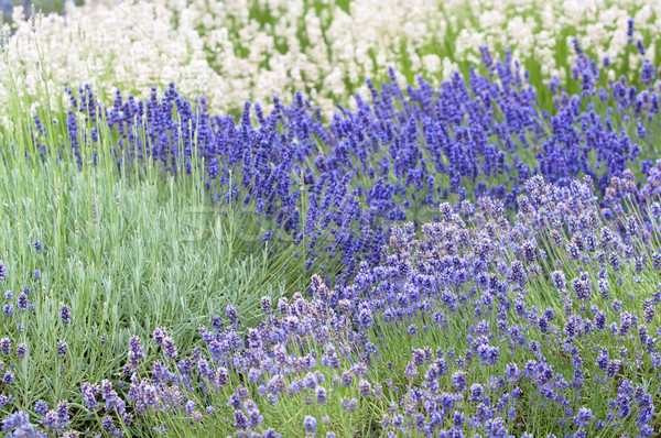 Lavender flower Natural look of Lavender flowers Lavandula Stock photo © szabiphotography