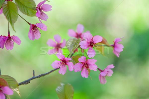 Fiore di ciliegio completo fiorire ciliegio albero natura Foto d'archivio © szabiphotography