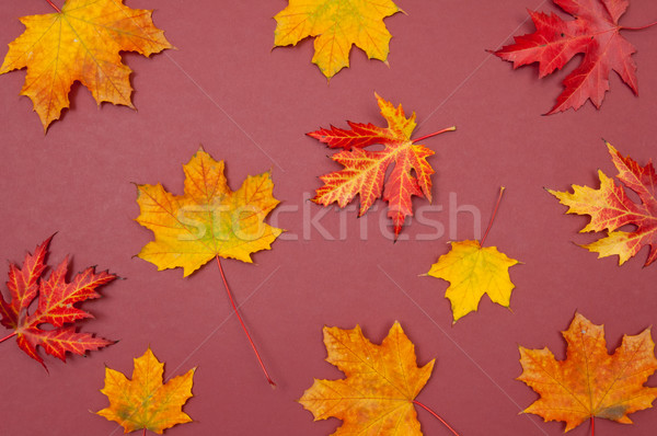 Autumn colorful fallen maple leaves on claret background Stock photo © szabiphotography