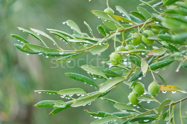 Akdeniz zeytin ağaçlar bo ışık Stok fotoğraf © szabiphotography
