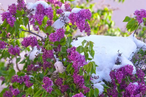 Orgona tavasz hóesés napos idő kert szépség Stock fotó © szabiphotography