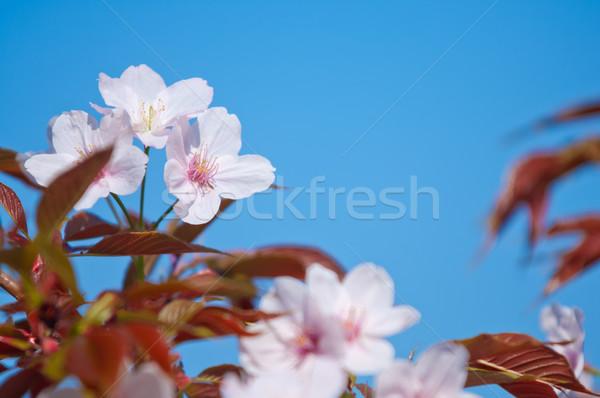 Cherry blossom, Prunus serrulata, full bloom Stock photo © szabiphotography