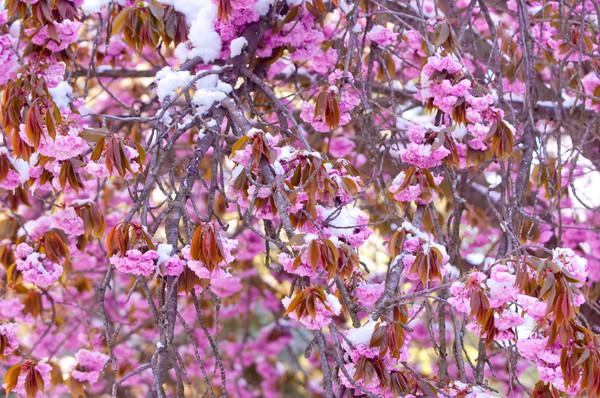 Stock fotó: Cseresznyevirág · hó · sakura · virágzó · cseresznye · fa