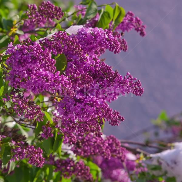 Lila primavera nevadas jardín belleza Foto stock © szabiphotography