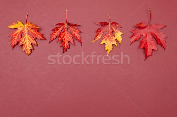 Sonbahar renkli akçaağaç yaprakları bo Stok fotoğraf © szabiphotography